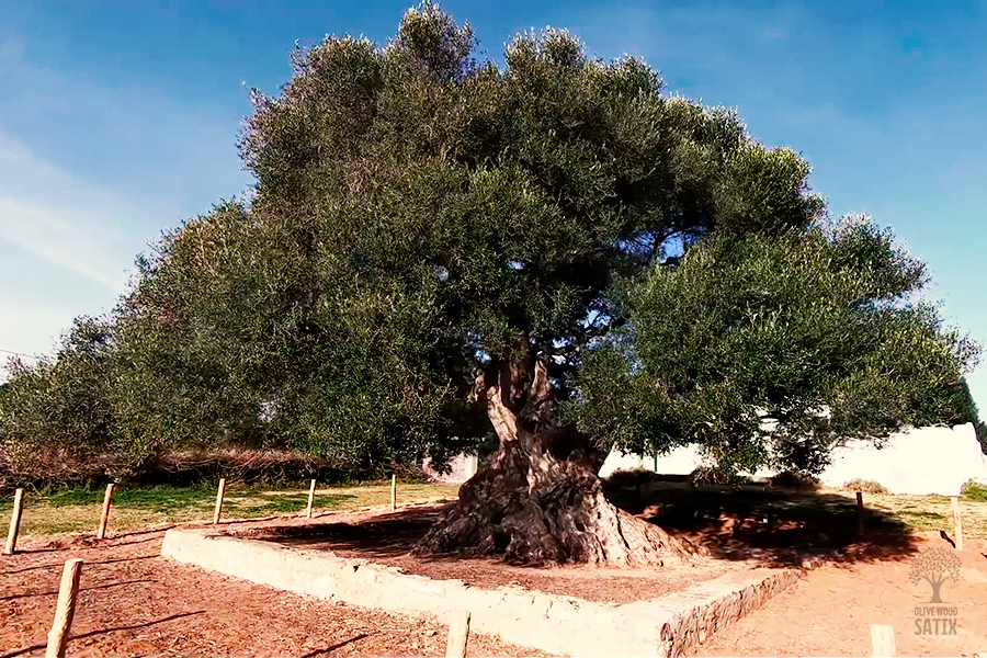 The-millenarian-olive-tree-Haouaria-Nabeul-olive-wood-satix